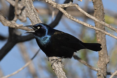 Common Grackle (amdubois01) Tags: quiscalusquiscula commongrackle grackle quiscalus corvid bird ornithology colorado