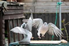 21 April 2017 (37) (AJ Yakstrangler) Tags: yakstrangler pigeon pigeons