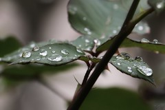 Rain drops (superhic) Tags: rose leaf rain raindrops ruža kiša kapljicekiše spring proleće bokeh
