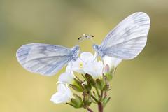 Schmalflügel-Weißling │ Wood white │ Leptidea sinapis - juvernica (Bluesfreak) Tags: schmetterlinge tagfalter schmalflügelweisling woodwhite leptideasinapisjuvernica unterfranken spessart lepidoptera