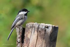 1704_EOS7DMKII-04-22-2017_00002-Edit-Edit (Peter Bangayan) Tags: hummingbirds smallbirds bird canon eos7d eos7dmkii ef500mmf4lisusm wildlife wild nature nisquallywildliferefuge
