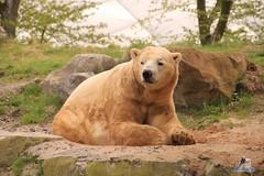Erlebniszoo Hannver 15.04.2017 091 (Fruehlingsstern) Tags: eisbären polarbear sprinter melana elefanten seelöwen weiskopfseeadler yukonbay erlebniszoohannover hannover canoneos750 tamron16300 zoo