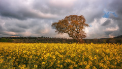 Spring ( in explore ) (Einir Wyn Leigh) Tags: landscape april spring easter outdoor fields tree sky clouds yellow gold green beautiful happy sunshine sunlight orange seed rapeseed blue wales cymru