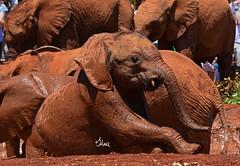 Chocolate Elephants for Easter? - 3955b (teagden) Tags: savetheelephantsday elephants orphans orphanedelephants chocolateelephants play playing mudhole fun david sheldrick wildlife trust davidsheldrickwildlifetrust dswt nairobi kenya jenniferhall jenhall jenhallphotography jenhallwildlifephotography wildlifephotography nikon safarisunday safari kenyasafari africasafari africansafari dkgrandsafaris kenyaafrica africa easter