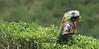 Duckwari tea plantation (Geoff Buck) Tags: srilanka people duckwari tea plantation picker lady woman teapicker tealeaves