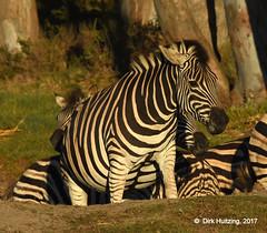 Burchell's Zebra 117707gb (Dirk Huitzing) Tags: burchellszebra equusburckelli