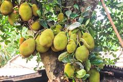 Strange Fruit (tagois) Tags: vietnam việtnam whitethai maichâu hòabình banlac jackfruit