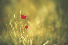 Spring tales (MerchePortu) Tags: spring flowers poppies red amapolas rojo primavera flores sol sun luz light