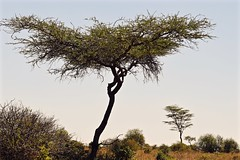 Three (The Spirit of the World) Tags: landscape trees acaciatrees acacia wilderness wild nature nairobi kenya eastafrica africa safari gamereserve nationalpark park