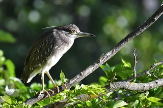 Bihoreau gris immature - Nycticorax nycticorax - Black-crowned night heron