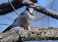 Blue Jay (1) (JDA-Wildlife) Tags: birds nikon nikond7100 tamronsp150600mmf563divc jdawildlife johnny centralparknycny bluejay portrait closeup whatbirdbestofday