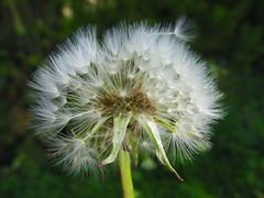Time flies (amy's antics) Tags: wah wearehere dandelion seeds clock