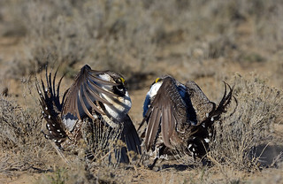 Ready to Rumble - Two Male Sage Grouse Getting Ready to Fight Over the Ladies - 5060b+