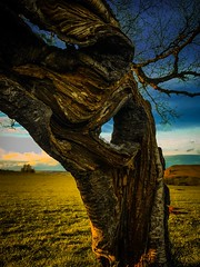 Yggdrasil: The Dancing Tree (Rae de Galles) Tags: countryside view wall mynydd rural land farm fence blueskies blue skies goldenlight goldenhour trunk branch branches old flora cymru wales mountains golden fields bark roots dancing tree nature nationalpark breconbeacons beacons brecon