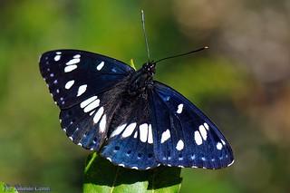 Farfalla _101 Limenitis reducta