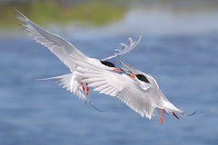 Beak to Beak (bmse) Tags: forsters terns bolsa chica arguing fight bmse salah baazizi wingsinmotion canon 7d2 400mm f56 l