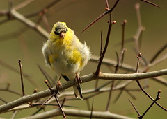 That awkward molting moment (Salamanderdance) Tags: bird goldfinch finch molt molting spring