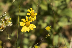 """Wooly Eriophyllum • <a style=""""font-size:0.8em;"""" href=""""http://www.flickr.com/photos/63501323@N07/34190369652/"""" target=""""_blank"""">View on Flickr</a>"""