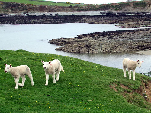 Lambs at Hen Borth