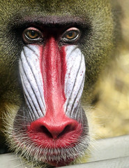 Looking Sad (Danny VB) Tags: monkey portraits mandril mandrill sad lookingsad face closeup red color colour colorful zoo granby quebec canada canon 5d mk3 5dmk3 ef135mmf2lusm
