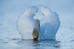 Mute swan (Cygnus olor) (Ville.V.) Tags: mute swan cygnus olor joutsen bird birds wild wildlife finland nature