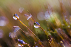(amy20079) Tags: moss abstract macro nature woods nikond5100 newengland spring dewdrops morning depthoffield sporophytes bokeh