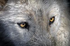 Regard de loup (Lucille-bs) Tags: europe france occitanie lozère saintelucie parcdesloupsdugévaudan gévaudan loup loupducanada regard yeux grosplan saintlégerdepeyre languedocroussillon lumière