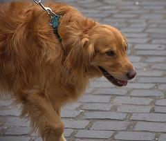 Golden Retriever (swong95765) Tags: dog canine animal pet retriever golden furry hairy