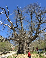 Turkey (Antalya) One of the monumental trees. Its age estimated 800-1000 years. (ustung) Tags: nature chestnut old age monumental tree antalya turkey
