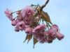 Bloesemtak tegen blauwe lucht (Geziena) Tags: bloesem tak boom natuur voorjaar spring omdem1 40150mm roze bloem bloeien