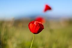 De son rouge vif (VP photographie) Tags: canon canon70d paysage landscape rouge red bleu blue vert green fleur flowers