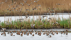 Black-tailed Godwit, Leighton Moss, Lancashire, England (Terathopius) Tags: blacktailedgodwit leightonmoss lancashire england unitedkingdom uk greatbritain gb limosalimosa