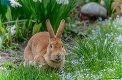 Bunny in the Garden (Summerside90) Tags: rabbit bunny april spring nature wildlife garden ontario canada