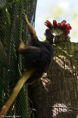 DSC00088 (Cyn Reynolds) Tags: parrot goldenheadedliontamarin 2017 hawkheadedparrot a77ii tamron150600