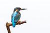 Kingfisher high-key (The Wasp Factory) Tags: eurasiankingfisher riverkingfisher commonkingfisher kingfisher eisvogel alcedoatthis highkey haussee feldberg feldbergerseenlandschaft mecklenburgischeseenplatte mecklenburgwesternpomerania mecklenburgvorpommern wildlife kingfisherhide eisvogelversteck rangertours