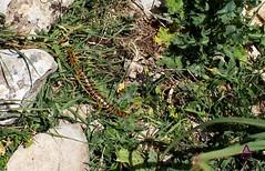 ALFREDO GALÁN (Alfredo Galán) Tags: scolopendromorpha cienpies escolopendra veneno torcal antequera