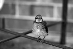 Baby Blue Jay (KatieWhitaker) Tags: blackandwhite baby bird nature standing little small birding bluejay
