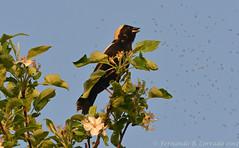 Bobolink (fbc57) Tags: birds vermont blackbirds icteridae bobolink dolichonyxoryzivorus southburlington oakcreekvillage nikond800 nikon300f417x foxrunlane