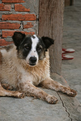 South East Asia, Dirty old dog 1716 (Jaydene Chapman) Tags: old dog dirty shaggy