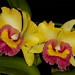 Brassiolaeliocattleya Magic Meadow 'Lee' – Alex Nadzan