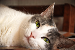 The Resting Cat (Bartfett) Tags: detail cute green yellow cat table eyes kitten feline fluffy sleepy resting cuteness