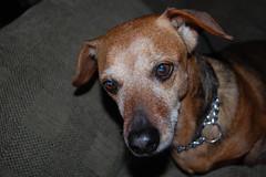 Mattie! (Alexb46) Tags: dog beagle dachshund