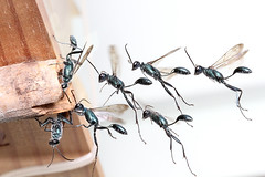 Flying wasps (kampang) Tags: nest flight diggerwasp