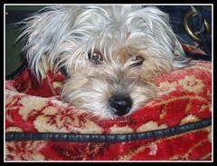 Sumo Inside Joe's Carpet Bag (suenosdeuomi) Tags: dog puppy blog framed terrier page doginabag nikond40 yorkymaltesepoodle suenosdeuomi sumoinjoesshoulderbag inpreparationofridingthescooterwithme oneofmyfavoriteimagesofsumo
