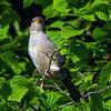 moineau (domiloui) Tags: france nature flickr jardin animaux lorraine cooliris nomeny abaucourt