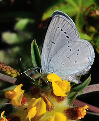 Small Blue- Cupido minimus (linanjohn) Tags: uk macro nature wildlife butterflies insects cumbria workington smallblue cupidominimus lepidotera lycanidae siddick