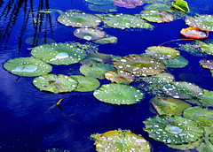 Waterlily3 (ashokboghani) Tags: waterlily concord greatmeadows