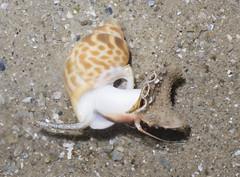 Spiral babylon (Babylonia spirata) (wildsingapore) Tags: nature island marine singapore underwater wildlife shore intertidal changi seashore mollusca gastropoda marinelife wildsingapore babylonia spirata babyloniidae carpark7