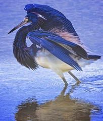 I am pursuing beauty, the heron is pursuing food! (Feathered Trail Photos) Tags: heron tricoloredheron merrittisland mfcc thegalaxy floridabirds avianexcellence buckinghamnaturephotography