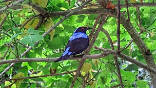 Asian Fairy-bluebird, Bush, Burgers Zoo, Arnhem, Netherlands - 1913